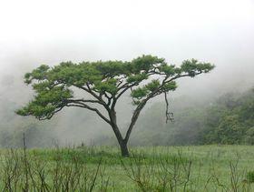 Akazie echte als Baum