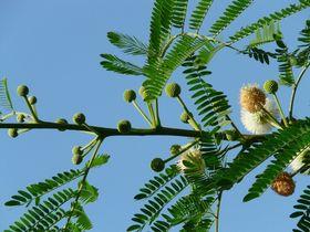 Akazie echte Blüten
