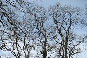 Akazie Robinie Bäume