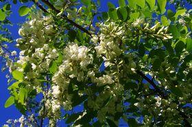 Akazie Robinie Laub Blüten