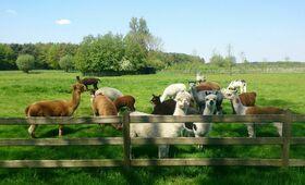 Alpakawolle Herde Wiese