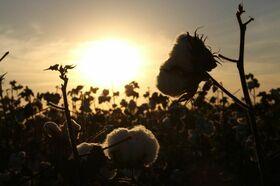 Bio-baumwolle in der Abendsonne
