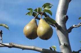 Birnbaum Frucht
