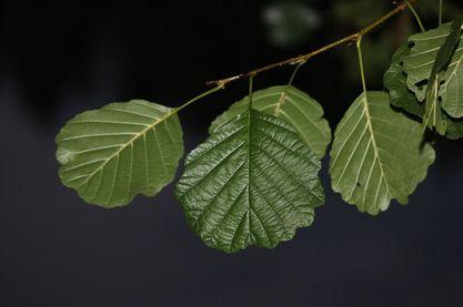 Erle Blätter