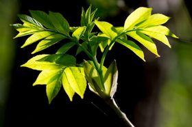 Esche Blätter