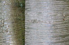 Kirschbaum Rinde