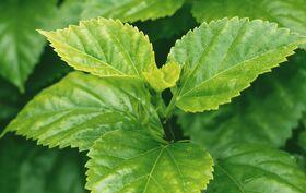 Bild der Pflanze für Lexikon-Artikel über Ramie