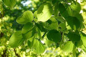 Linde Blätter