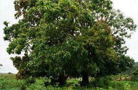 Mangoholz
