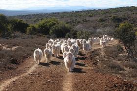 Mohair-Ziegenherde in der Türkei