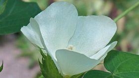 Naturfaser Baumwolle Blüte