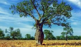 Naturfaser Kapok Baum