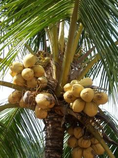 Naturfaser Kokos-Palme mit Früchten