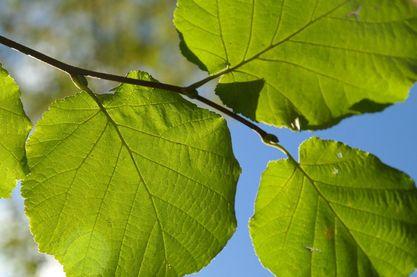 Nussbaum Blatt