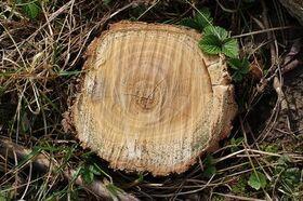 Robinienholz Stamm-Querschnitt