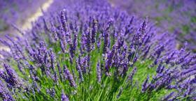 Textilveredelung Greenfirst Lavendel