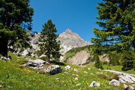 Zirbenwald in den Alpen