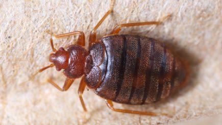 Ausgewachsene Bettwanze - Schädling, der es sich im Schlafzimmer gemütlich machen kann